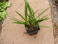 blue agapanthus - potted plant 2yr old