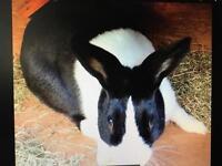 Missing bunny- Dutch