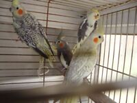 Young cockatiels for sale. Will make great pets, nice variety of colours