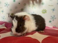 Baby Teddy guinea pigs
