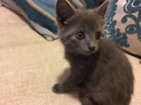 Beautiful female grey kitten
