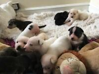 12 husky x staff puppies