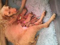 Vizsla wire haired puppies
