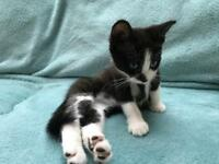 2 Black and white kittens