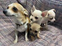 1 beautiful chihuahua pups ready now