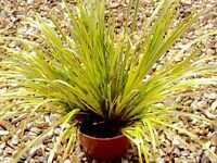 Ornamental yellow grass plant £2
