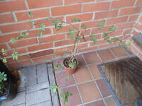 Wild rose plant in a 12 cm pot