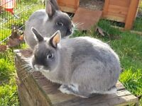 Pair of Netherland Dwarf doe rabbits