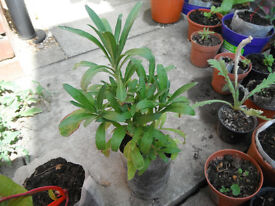 Plant for sale-A wallflower plant