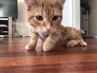 Ginger kitten for sale (accessories included)