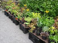PERENNIAL PLANTS - ALL CONTAINER GROWN - FROM £1.50 TO £4.50 EACH