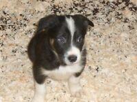 Mixed coloured Collie puppies for sale