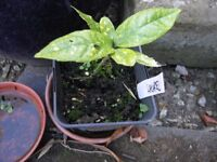 12 Spotted / Verigated Laurel Plants Weymouth