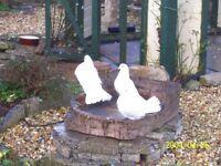 White Fantail Doves