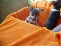Chihuahua puppies smooth coat 😘