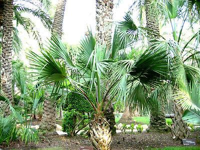 """Sabal bermudana """"Bermuda Palmetto"""" Surprisingly Hardy Palm! - 10 seeds, used for sale  Corinth"""