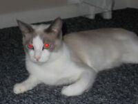 Male neutered ragamease kitten