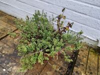 Terracotta pot with thyme and small geranium