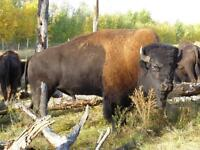 Breeding Bull bison for sale or trade