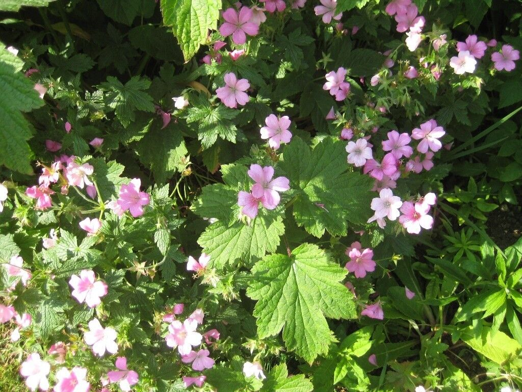 Perennial geraniums tiny pink flowers ideal for borders or perennial geraniums tiny pink flowers ideal for borders or several in a small bed mightylinksfo
