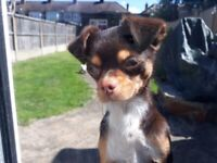 Kc Chocolate Tri Female Chihuahua