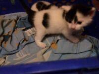 Kittens for sale 3tri colour