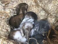 French Lop giant baby rabbits