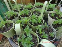 Marigold Hanging Plant pots