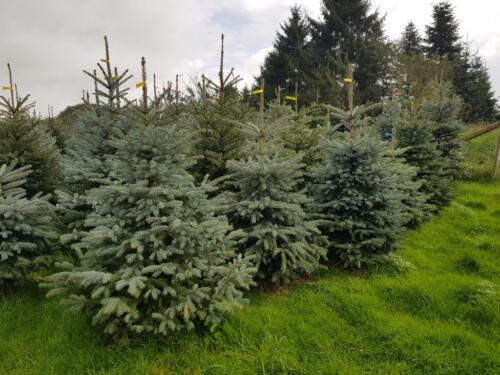 Weihnachtsbaum Selber Schneiden.Weihnachtsbaum Selber Schneiden Selbst Sägen Nordmann Blaufichte