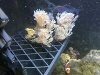 Coral Frags £5 collection only