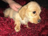 Apricot Girl Puppy For Sale