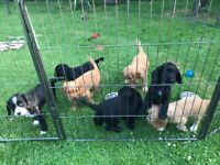 KC Registered Cocker Spaniel Puppies