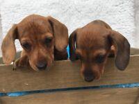 Miniture Smooth Dacshunds