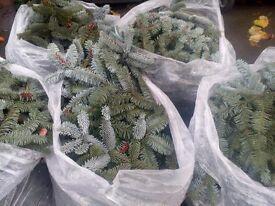 Beautiful blue spruce.