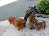 Dachshund KC Reg. (Long Haired) puppies for sale