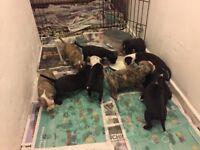 Staffs puppies