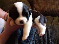 Labernard puppies for sale Labrador cross saint bernard