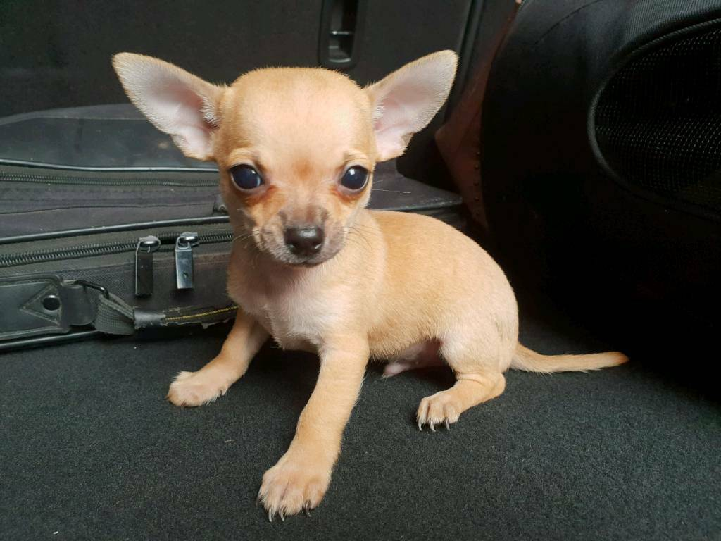 Pedigree Teacup Chihuahua Puppy For Sale  Really Tiny And Ready To Leave  His Mummy Now | in Stanley, West Yorkshire | Gumtree