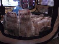 2 female ferrets need new home