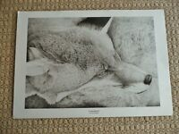 Professional Piezo Art Print of Red Fox / Dog Fox Pencil Drawing Picture on Strathmore Plain Paper