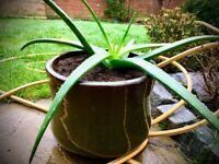 Large aloe vera in ceramic pot