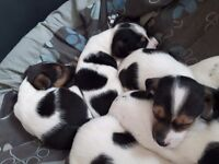 Jack russell pups, x2 male x4female