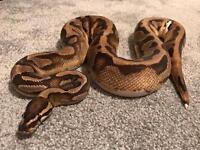 Male Pied Royal Python