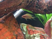 4 x fairy cichlids for sale