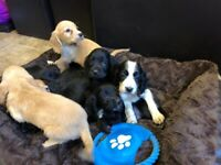 Gorgeous cocker spaniel puppies for sale