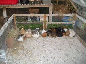 Guinea Pigs for free !!!!!