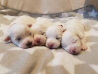 Coton De Tulear Puppies Available