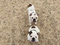 2 beautiful English bulldogs