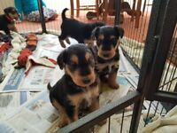 Airedale Terrier Puppies KC Reg