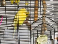Young Female Budgie For Sale